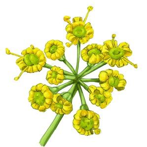fenouil-fleur - copie